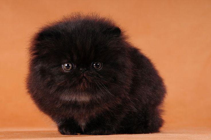 Black Persian Kitten Photo Marika Lahti | CFA Kittens ...