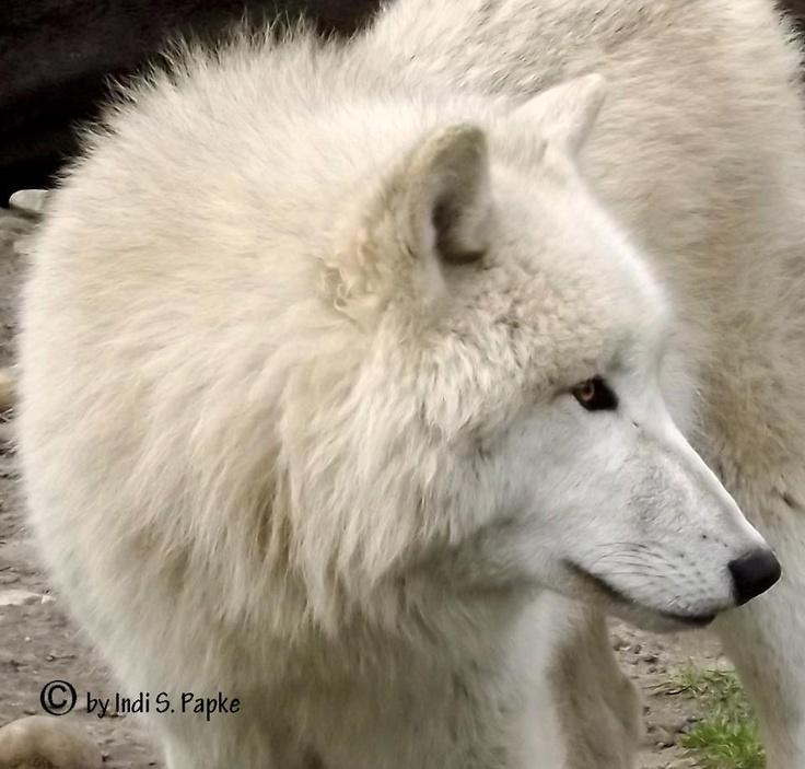 beautiful blue white wolf - photo #5