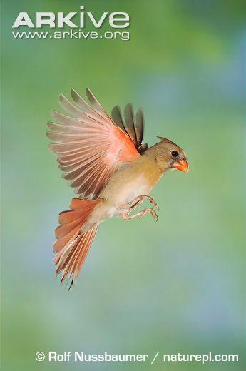 Female northern cardinal in flight