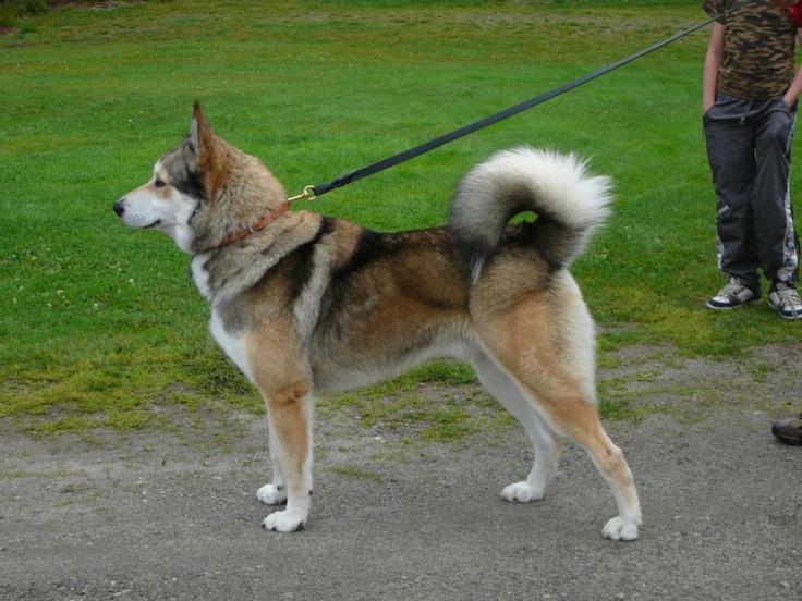 East-Siberian Laika. | Puppy Encyclopedia | Pinterest