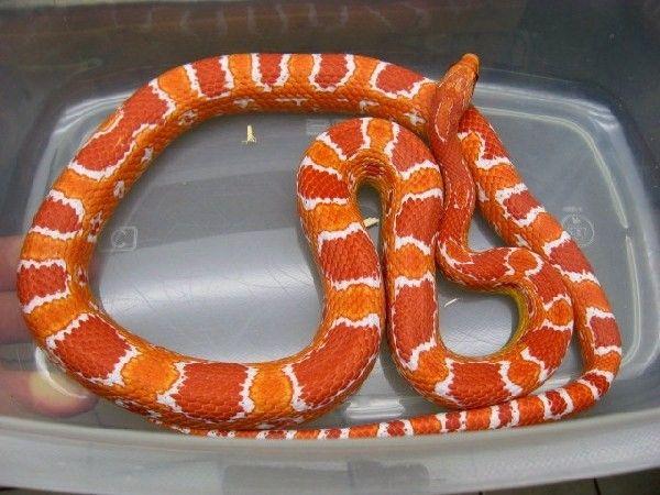Fluorescent Orange Corn Snake Fluorescent Orange Cor...