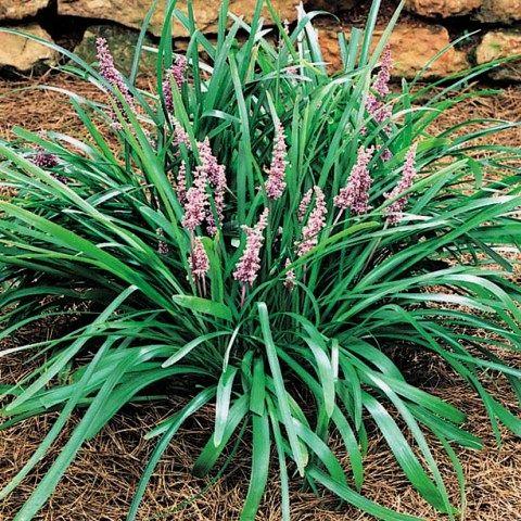 Liriope ornamental grass ornamental grasses pinterest for Short ornamental grasses full sun