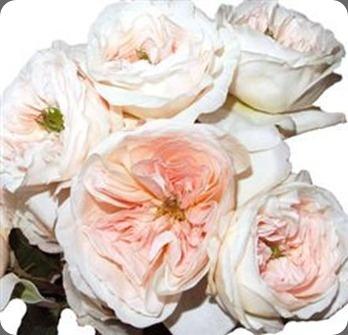 Blush Garden Roses Flower Power Pinterest