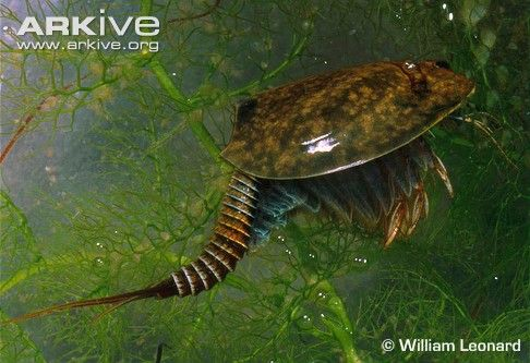 Vernal pool tadpole shrimp (Lepidurus packardi) courtesy of www.arkive ...