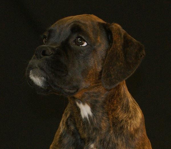Brindle boxer mascotas pinterest for Brindle boxer