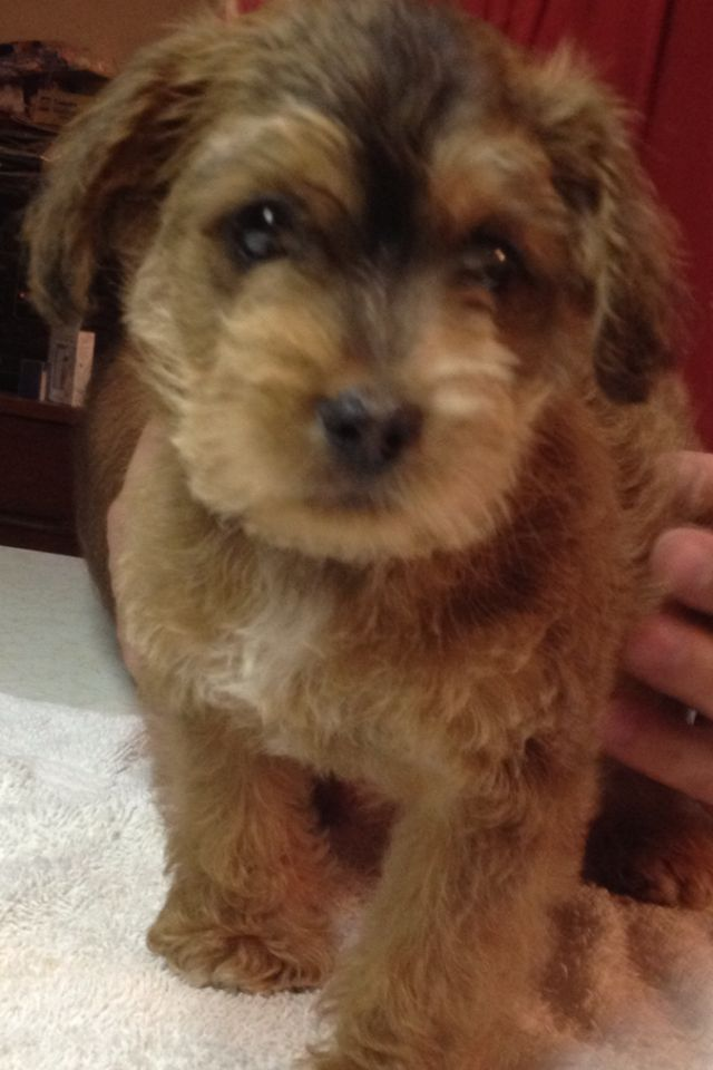 Pin Teddy Bear Schnoodle Puppies Image Search Results on Pinterest