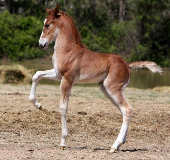 This Saddlebred breed foal, originated in Kentucky on the Southern plantaions. Their training history has brought them to be able to be taught a 5-gait walking variety. They are exagerated high steppers and can compete in several disciplines, including dressage. This pretty baby already has his breed's traits showing up! He's beautiful!