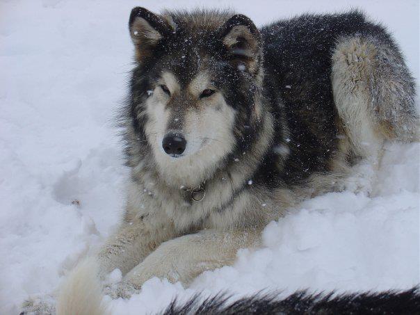 ... is a Hybrid Timber wolf and German Shepherd ... | Shepherd Fam