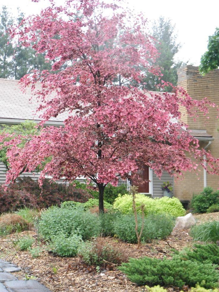 Tricolor beech in the spring outdoor oasis pinterest
