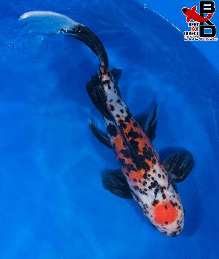 12 tancho shubunkin goldfish live koi fish pond garden bkd for Koi fish and goldfish