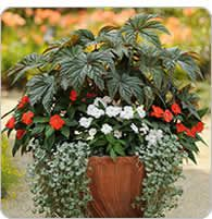 Spillers, thrillers and fillers! Photo gallery of containers with instructions to plant and description of flower.