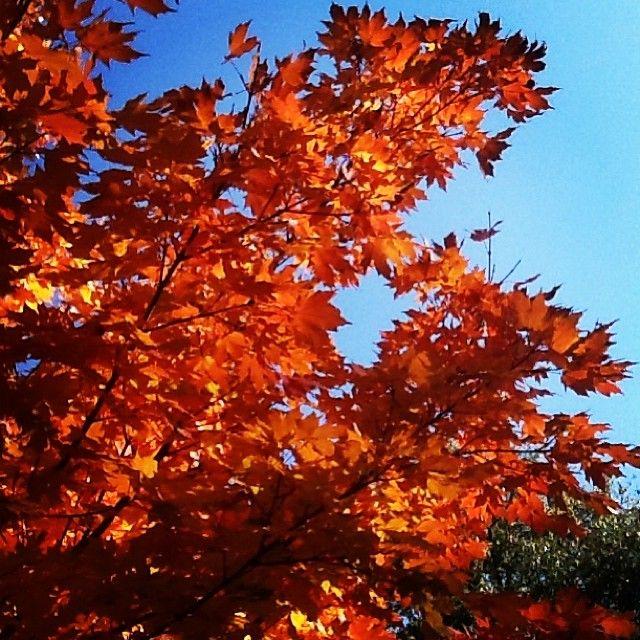 A few #UofSC Garnet leaves against a Carolina blue sky. Photo by maegan_g: http://instagram.com/p/g3YskaIuoi/