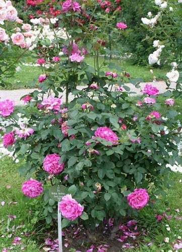 Noble Antony | Need help choosing roses (Like the rose you ...