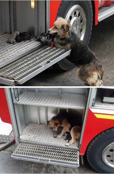 A very courageous little dog saved all her babies during a fire, by bringing them one by one from a burning house to the steps of the firefighters' truck.