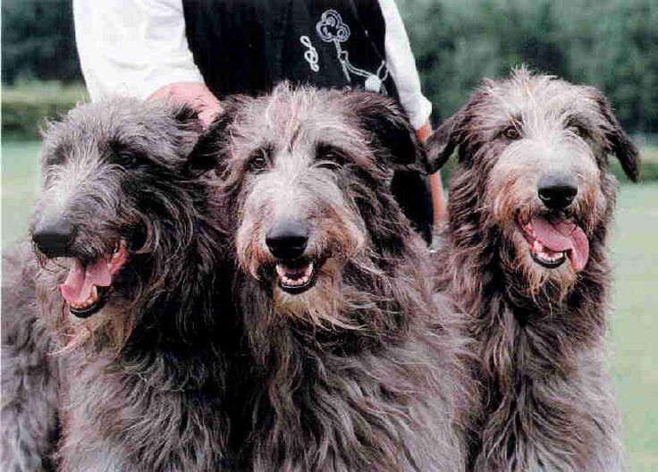 amp scottish deerhounds p pin irish wolfhounds scottish deerhounds ...