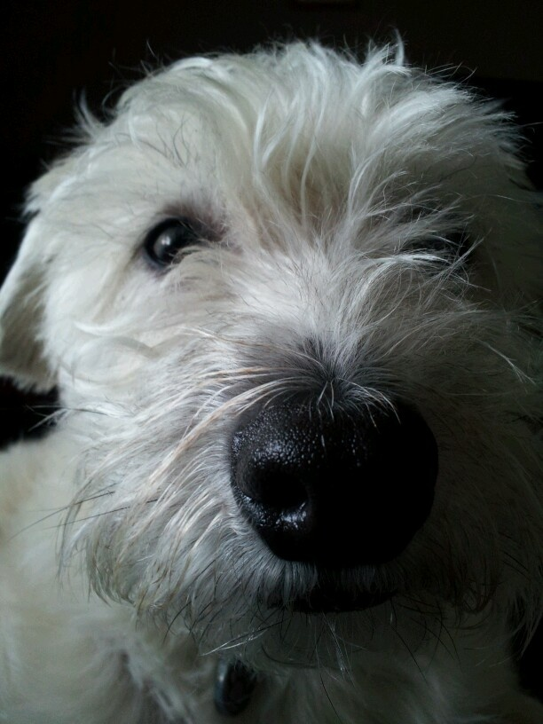 Poodle Cairn Terrier Mix For Adoption | Dog Breeds Picture