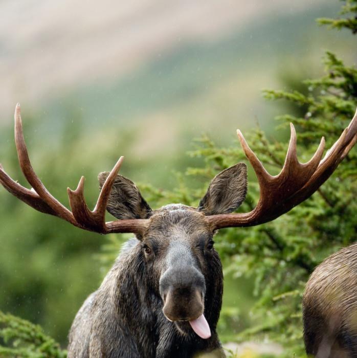 Funny Moose  Moose  Pinterest