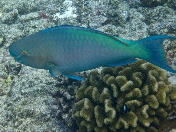 Blue parrot fish hawaii pinterest for Blue parrot fish