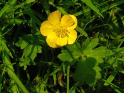 Buttercup, Creeping - Non-native in Pacific NW and can be invasive.