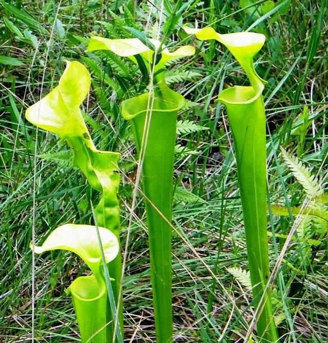 North Carolina home to many carnivorous plants