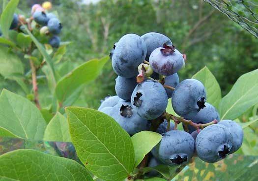 Blueberry Bonanza! Good information here on growing Blueberries.