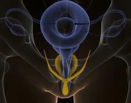 The Internal Clitoris | Museum of Sex Blog