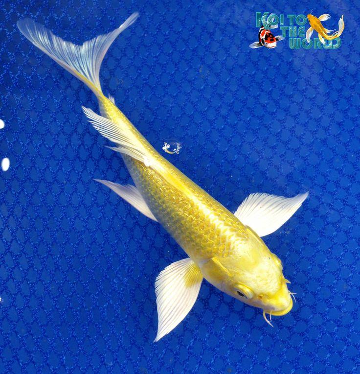 Ginrin yamabuki ogon butterfly fin live koi pond for Ogon koi fish
