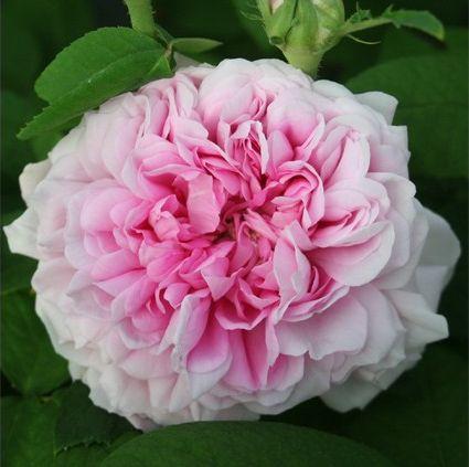 Rose ancienne : Beauté de france