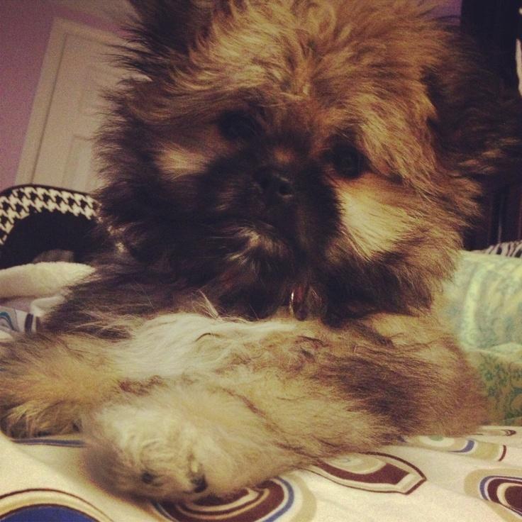 My Pomeranian shih tzu mix! | Animal Obsession | Pinterest