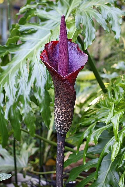 how to grow amorphophallus konjac