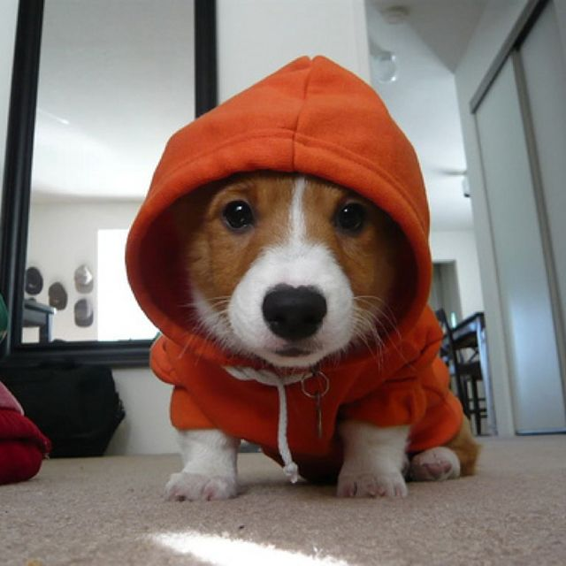 Dog Hoodie on a corgi!!!  yay