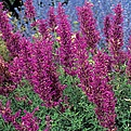 Love this agastache! It does well in xeriscape gardens.