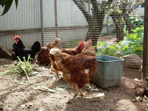 Raising Urban Backyard Chickens : FAQ about Raising Chickens, because I need a hobby ) and this sounds