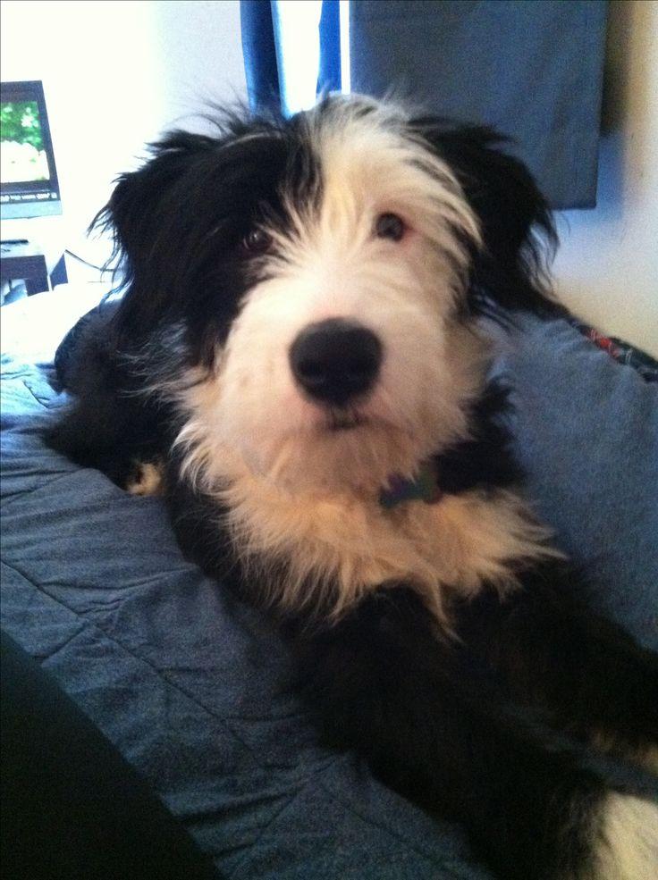 Irish Wolfhound Mix Puppies