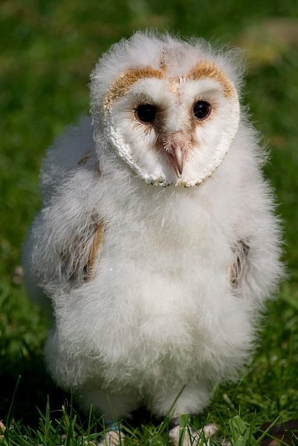 barn owls in a barn - photo #22