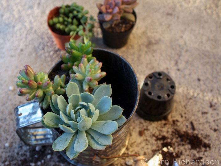 Succulents...Container Gardening