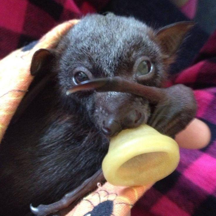 Pin Giant Golden Crowned Flying Fox Bat Caught on Pinterest