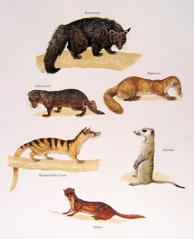Otter Civet Meerkat, o...