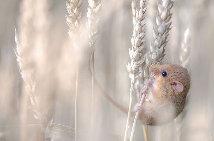 Wildlife Photographer of the Year 2013 - Telegraph. Harvest mouse. photo by Etienne Francey