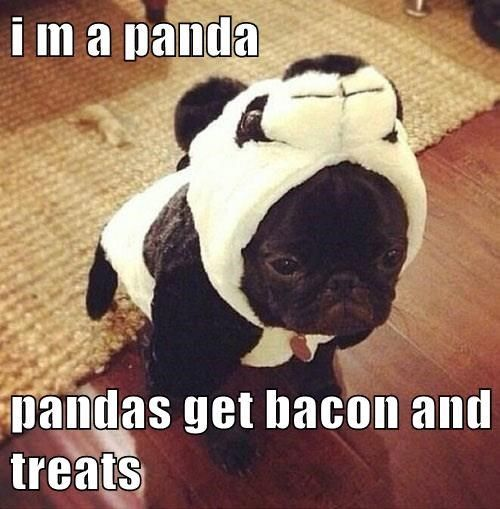 Top 100 Cool Pug pics, photos and memes. - SillyCool