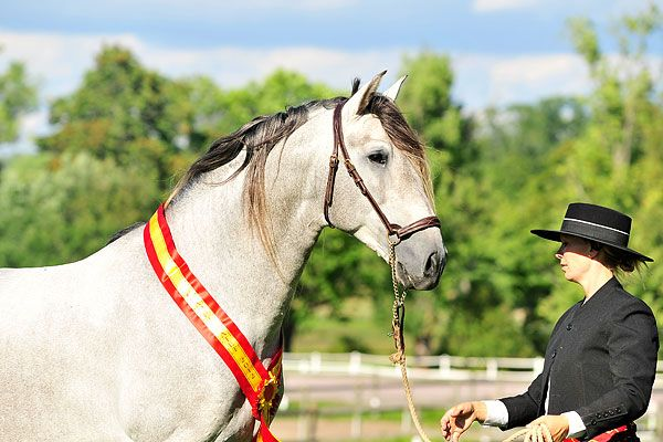PRE Andalusian stallion Tanteo MAC | Andalusian, PRE (Closed) | Pinte ...