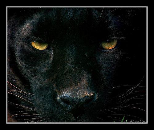 black panther face.jpg (500×421) | animals | Pinterest Panther Face