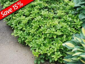 pachysandra green carpet  Ground cover- Pachysandra Gree...
