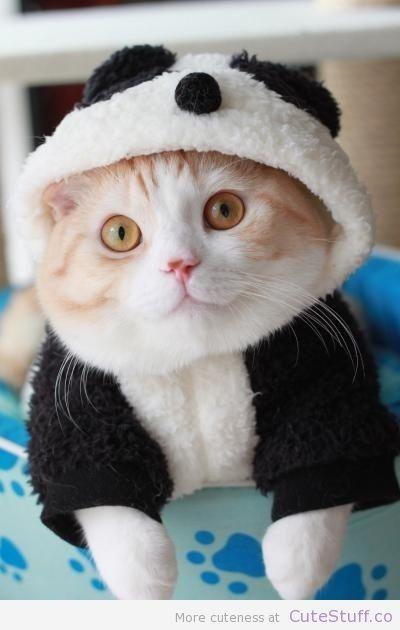 Panda cat... Oh... Cute