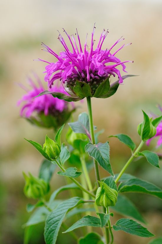 31 Mosquito Repelling Plants Secret Garden Pinterest