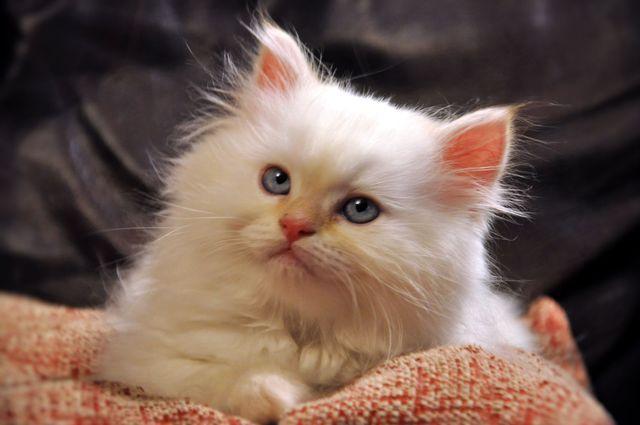 Flame Point Himalayan Kitten   just like my Suga Belle  but with a    Flame Point Himalayan