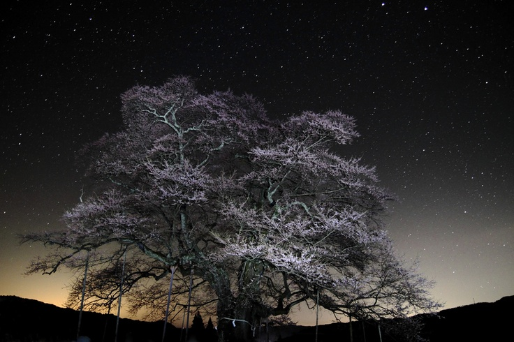 Japanese cherry tree of 1000 years old