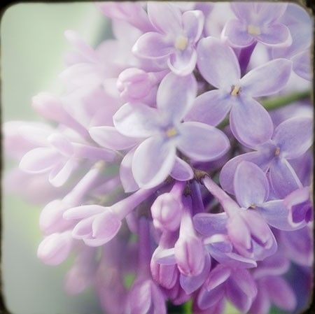 how to make homemade lilac perfume here http://jerileewei.hubpages.com/hub/The-Poets-Flowers