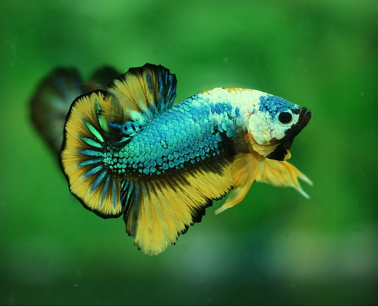 Blue yellow halfmoon plakat Betta Splendens Pinterest