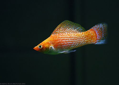 orange sailfin molly Wishes Wants and What Nots Pinterest
